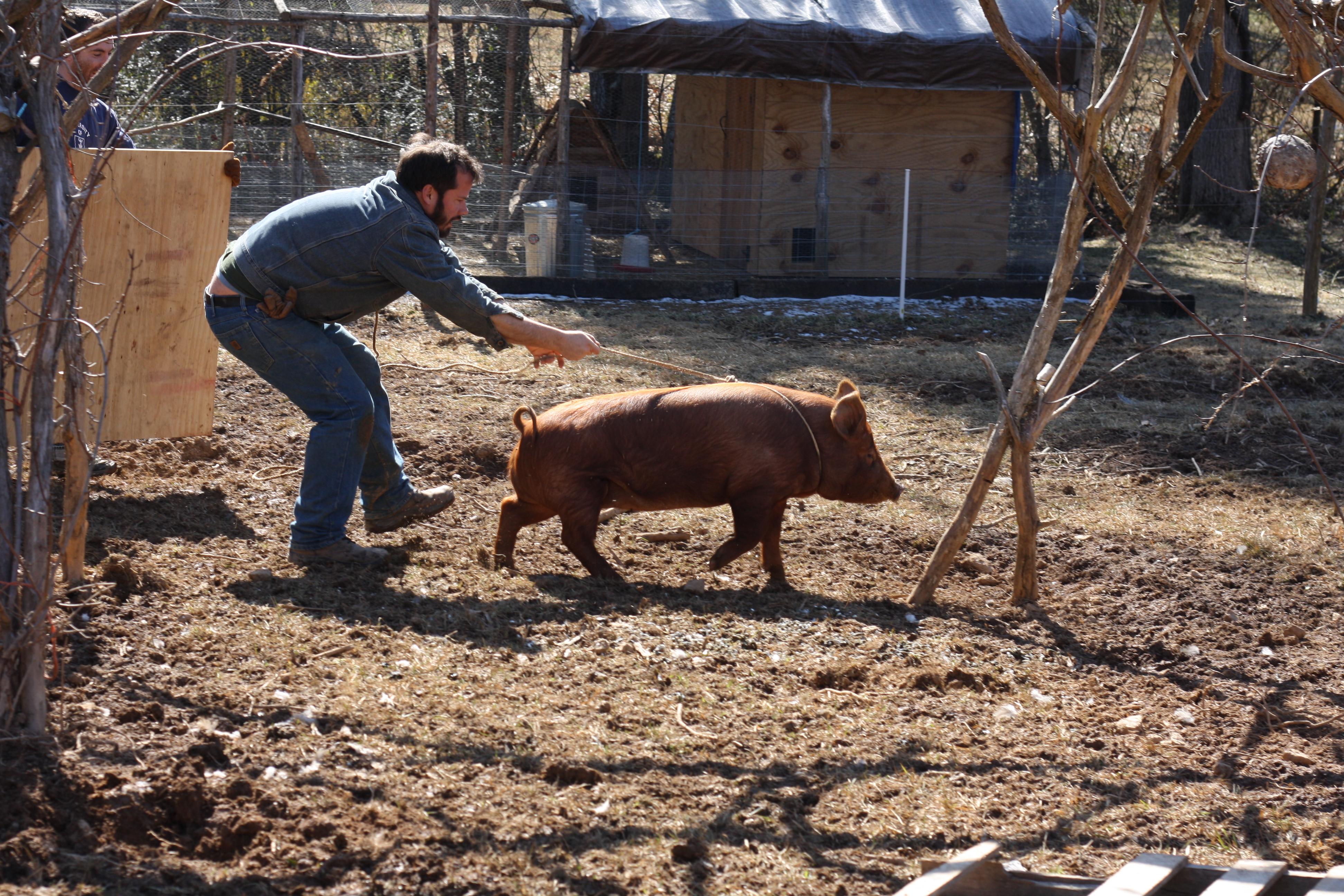 Pigs Home Growed